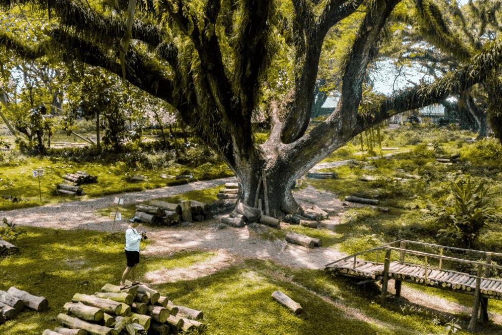 Kisah Sejarah dari Hutan Trembesi Jawatan Benculuk