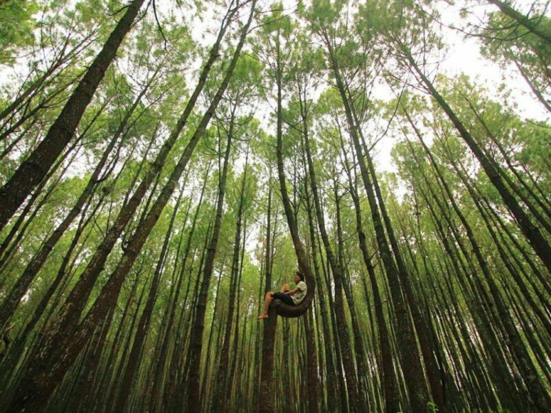 Hutan-Pinus-Kayon