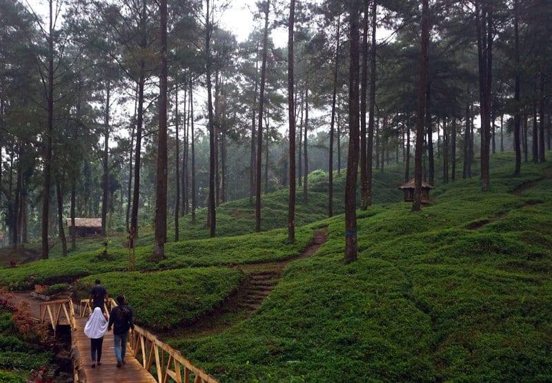 Hutan-Pinus-Limpakuwus