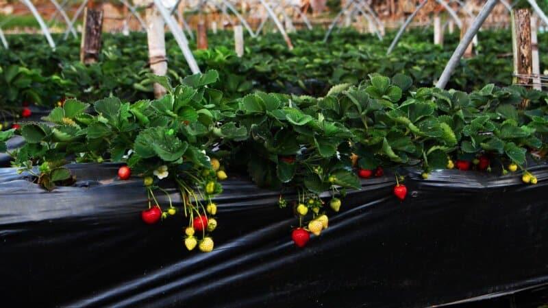 Kebun-Strawberry