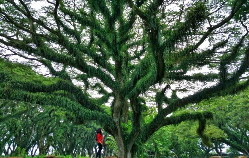 Tempat Pelestarian Pohon-Pohon Besar