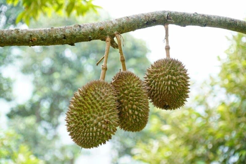 Daerah Penghasil Durian