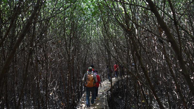 Trekking di Hutan Mangrove