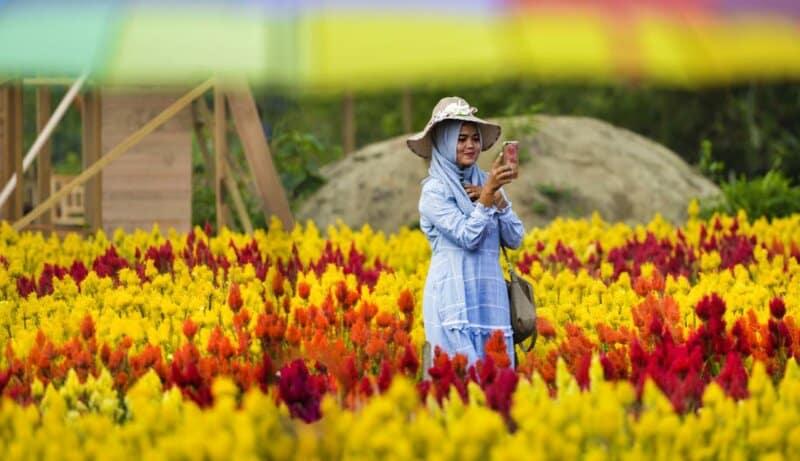 Taman-Bunga-Celosia